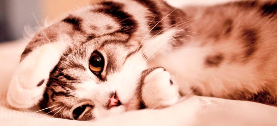 funny_lazy_cat